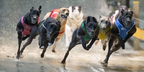 greyhound racing uk