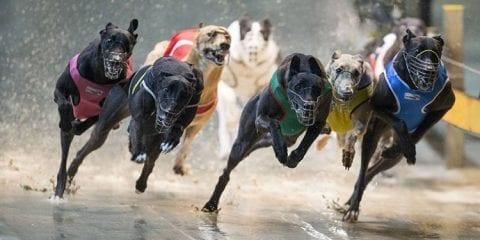 greyhound racing uk